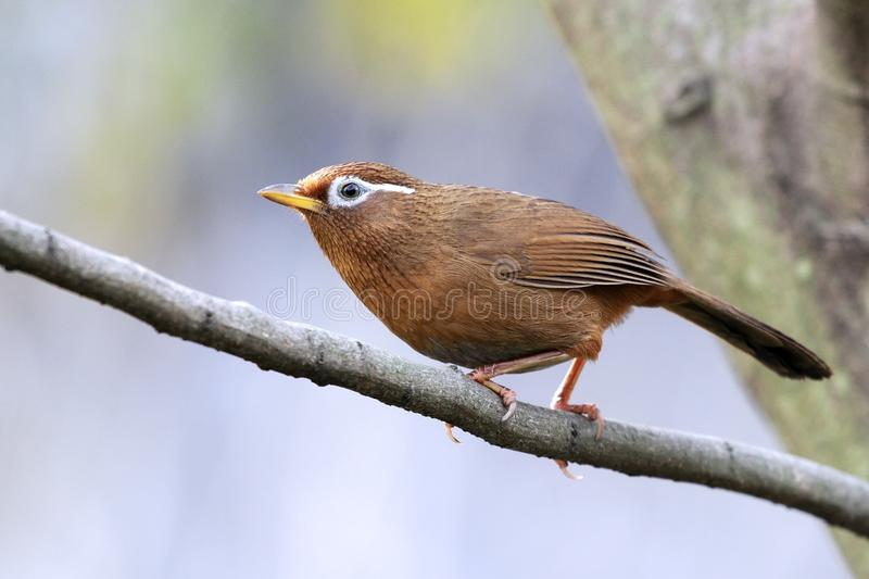Trostle. A babbling trush stands on tree stool stock photo