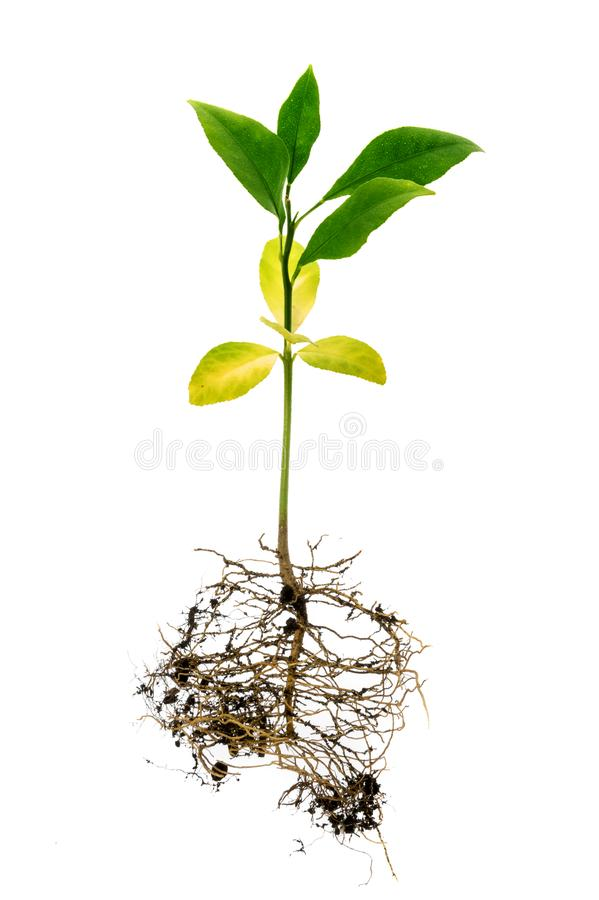 troszkę cytryny drzewo na białym tle zdjęcie royalty free