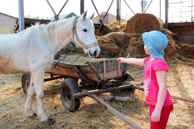 Troszkę dziewczyna w menchii ubraniach i Panama karmi białego konia sianem blisko starej drewnianej fury fotografia royalty free