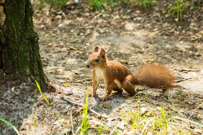 Troszkę dzika wiewiórka na ziemi obrazy stock