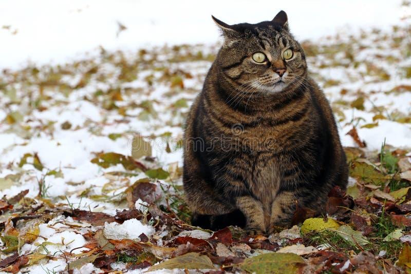 Troszkę gruby kot z śmiesznym spojrzeniem obrazy royalty free