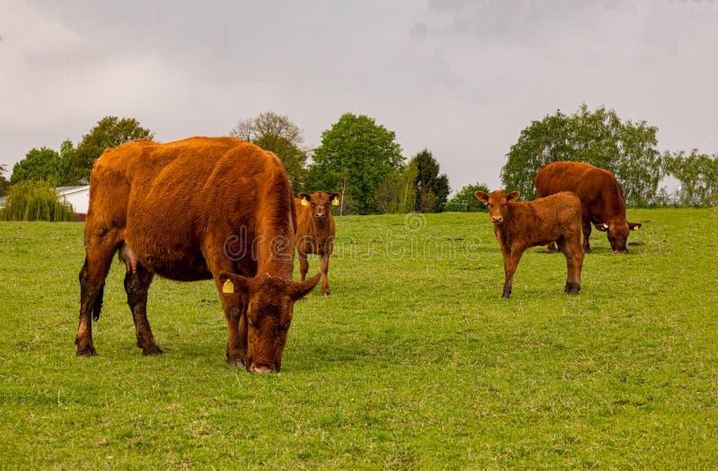 Troszkę hed brąz łydki i krowy pasa w zielonej łące zdjęcie stock