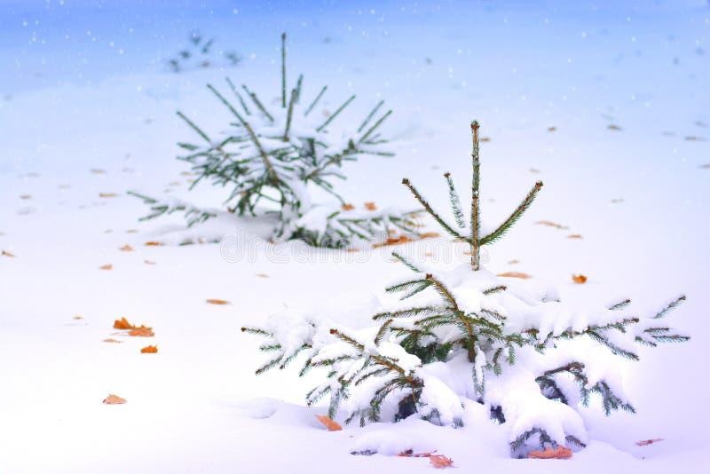 Troszkę jedlinowy drzewo w naturze fotografia royalty free