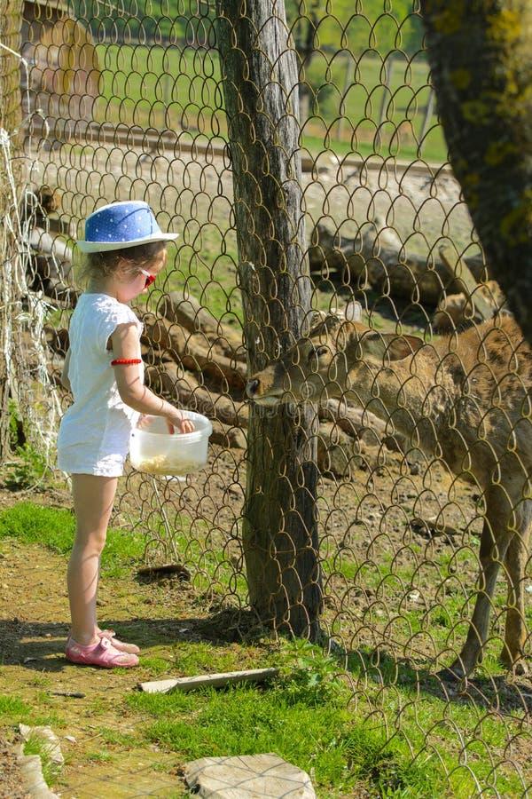 Troszkę karmi młodego rogacza w zoo w lecie podczas t dziewczyna fotografia stock
