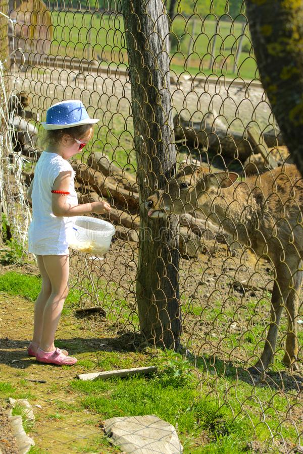 Troszkę karmi młodego rogacza w zoo w lecie podczas t dziewczyna zdjęcie stock