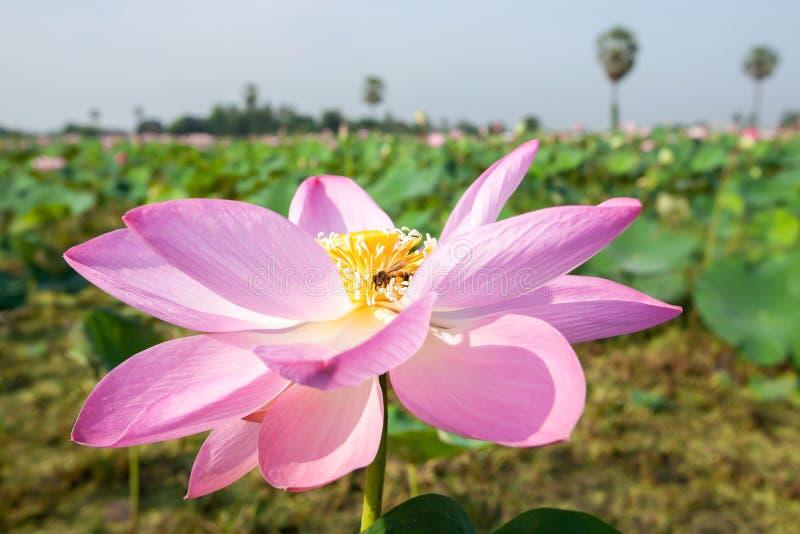 Troszkę miodowej pszczoły zbieracki pollen na różowej Wodnej lelui w tropikalnym bagnie w lecie zdjęcie royalty free
