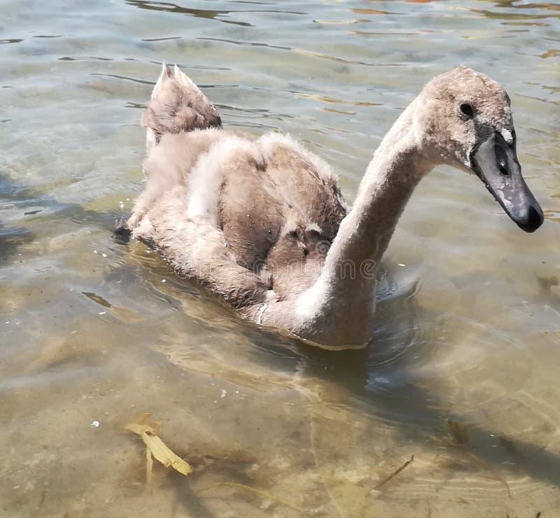 Troszkę pływa na wodzie popielaty ptasi łabędź fotografia royalty free