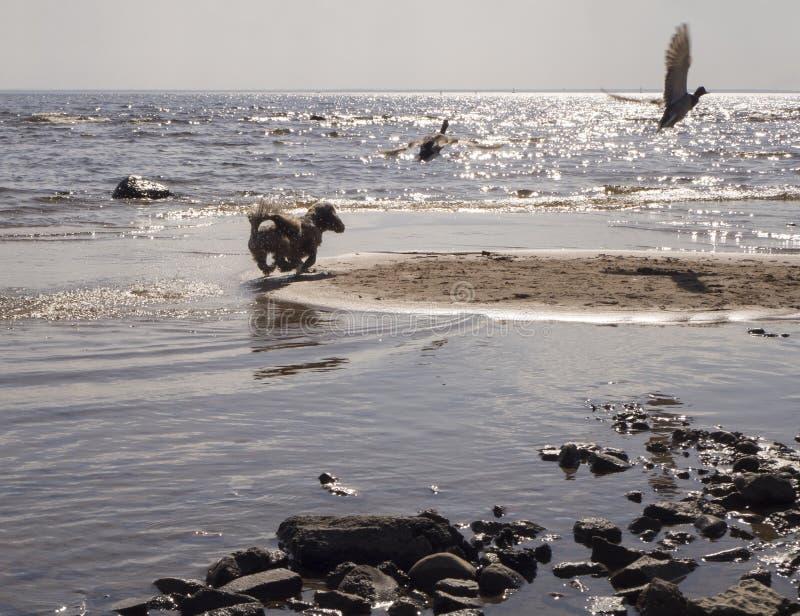 Troszkę psi cyzelatorstwo ptaki na wybrzeżu morze fotografia royalty free