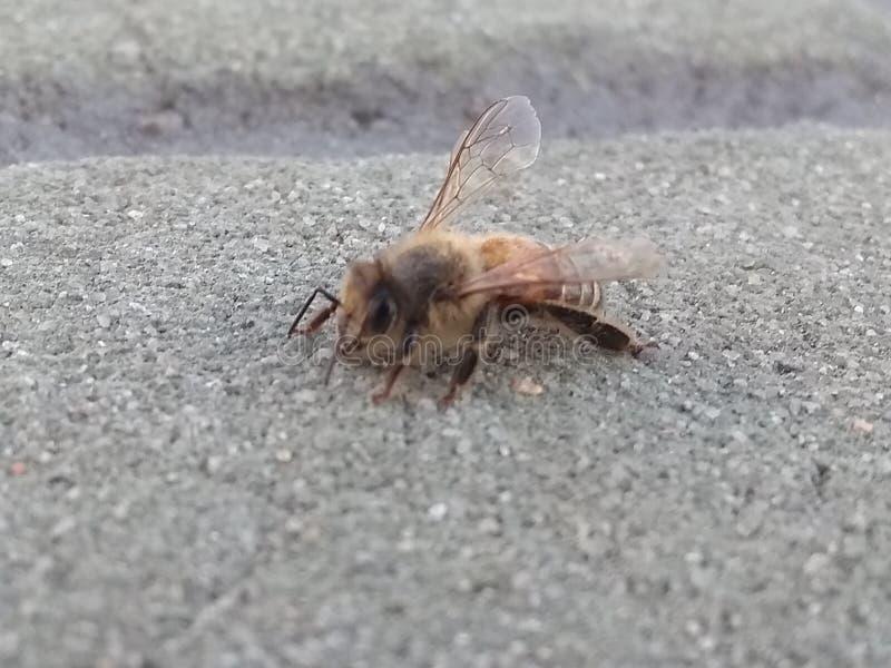 Troszkę pszczoły odpoczywać obrazy royalty free