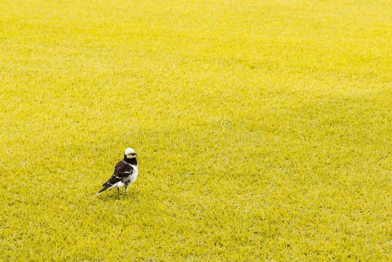 Troszkę ptak w koloru żółtego polu zdjęcie stock
