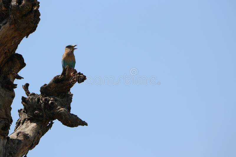 Troszkę Ptasia pozycja na Suchym drewnie Suchym drzewie lub fotografia royalty free