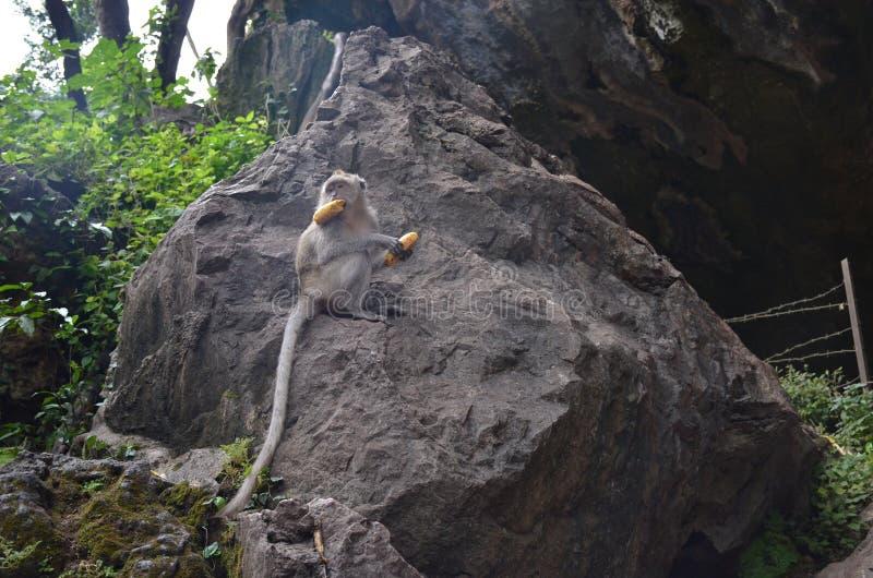 Troszkę siedzi na wielkim kamieniu otaczającym greenery, trzyma banana w i patrzeje daleko od brąz małpa, swój usta i łapach, obrazy stock