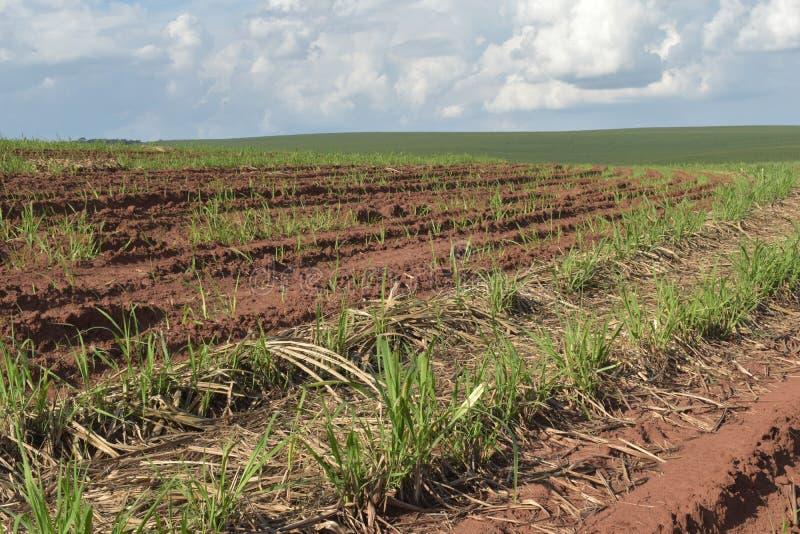 Troszkę trzcina cukrowa używać techniki nazwanego meiosis narastająca trzcina w polu ziemia dla trzciny cukrowej produkcji obrazy stock