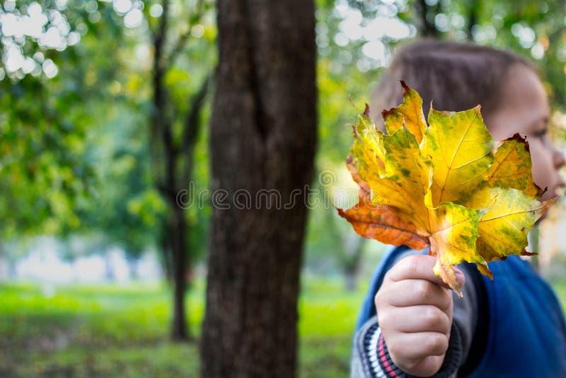 Troszkę trzyma żółtych jesień liście w jego ręce chłopiec zdjęcie stock
