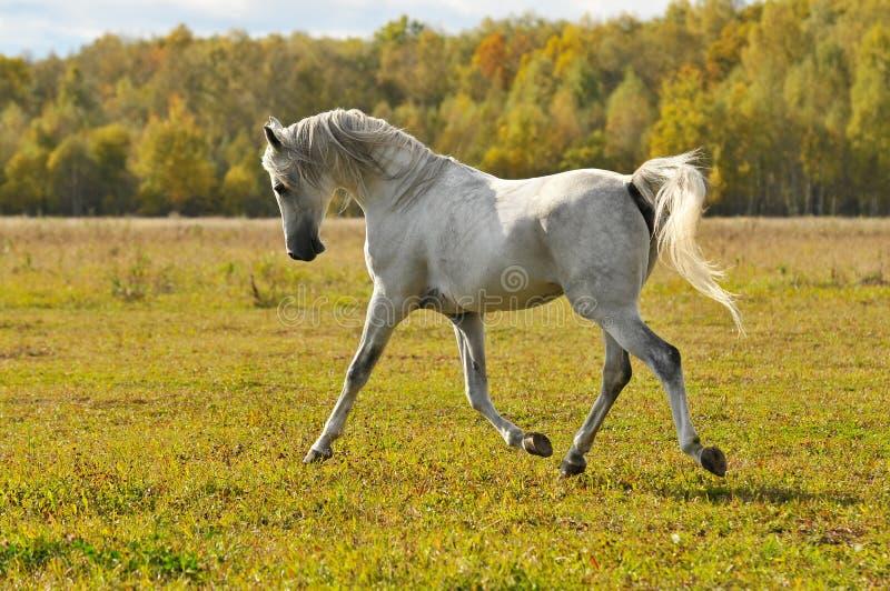 Trot de passage de cheval blanc sur le pré image stock