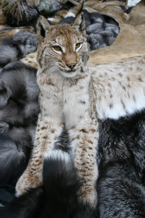 Download Trot; Lynx Royalty Free Stock Image - Image: 1412376