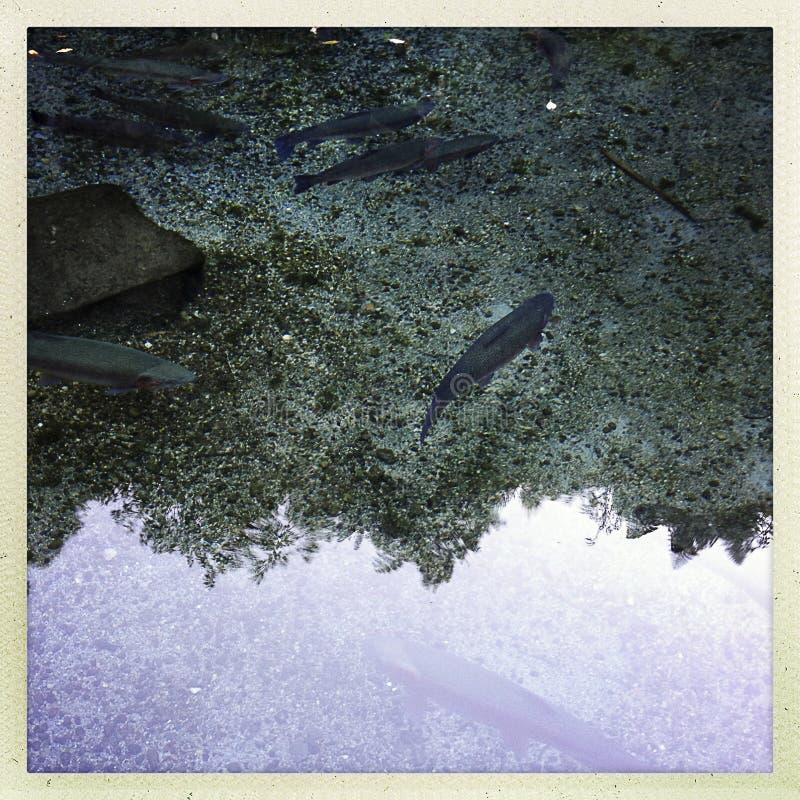 Download Trota iridea immagine stock. Immagine di acqua, animale - 30829515