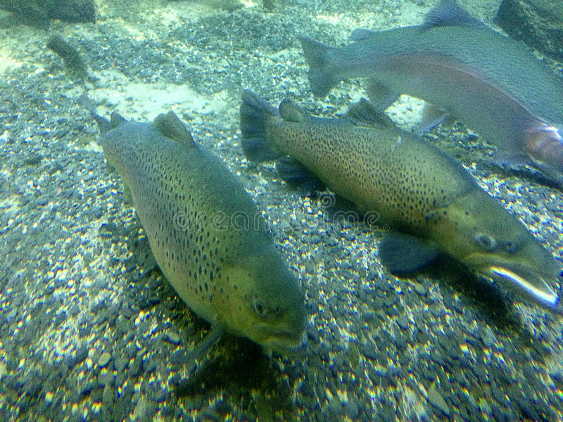 Download Trota iridea fotografia stock. Immagine di pesci, sport - 30829552