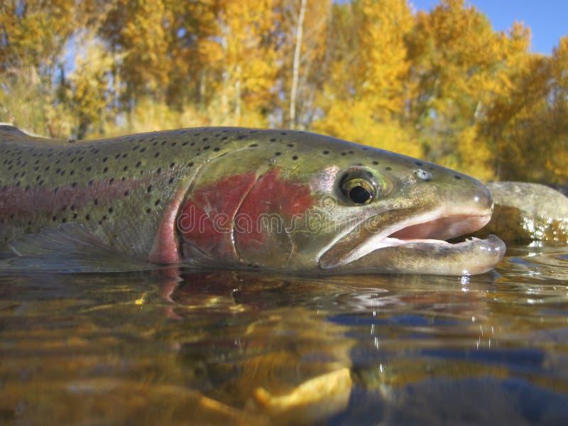 Trota iridea dell'Idaho fotografie stock libere da diritti
