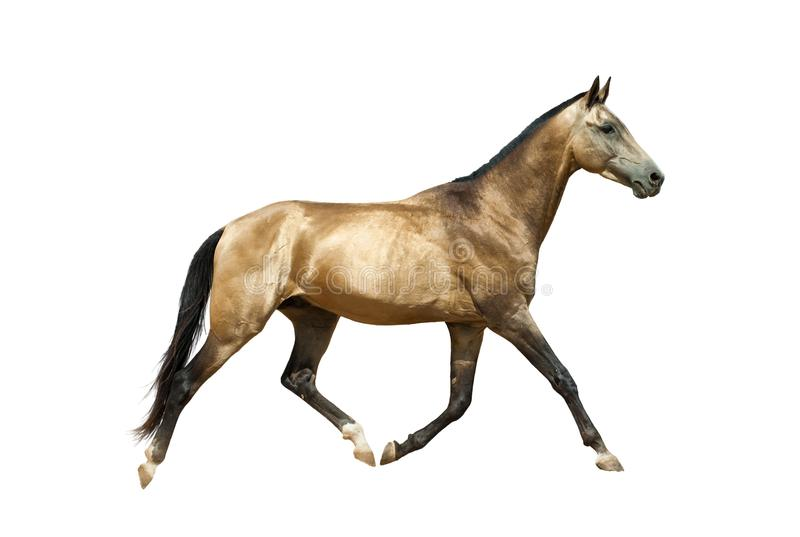 Trotar dourado do cavalo foto de stock royalty free