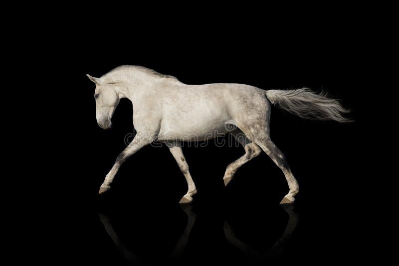 Trote del caballo blanco imagen de archivo