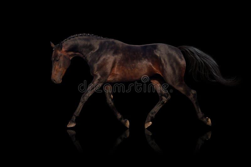 Trote del caballo de bahía foto de archivo libre de regalías