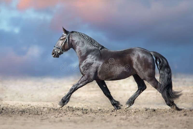 Trote do cavalo do Frisian imagem de stock