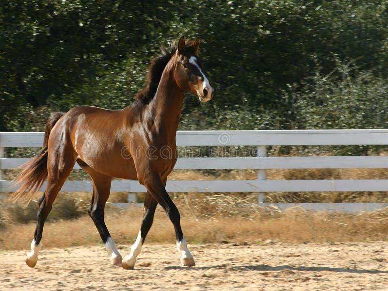 Download Trote extravagante imagem de stock. Imagem de equine, equestrian - 56625