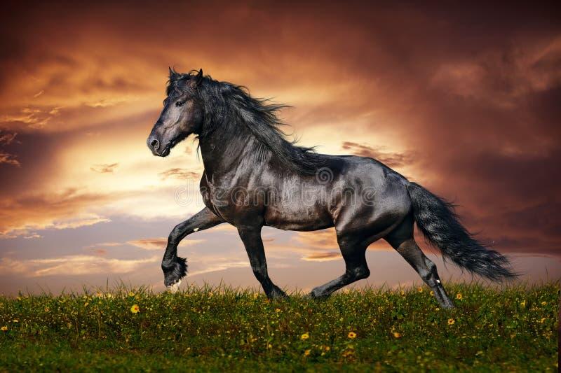 Trote preto do cavalo do frisão fotos de stock