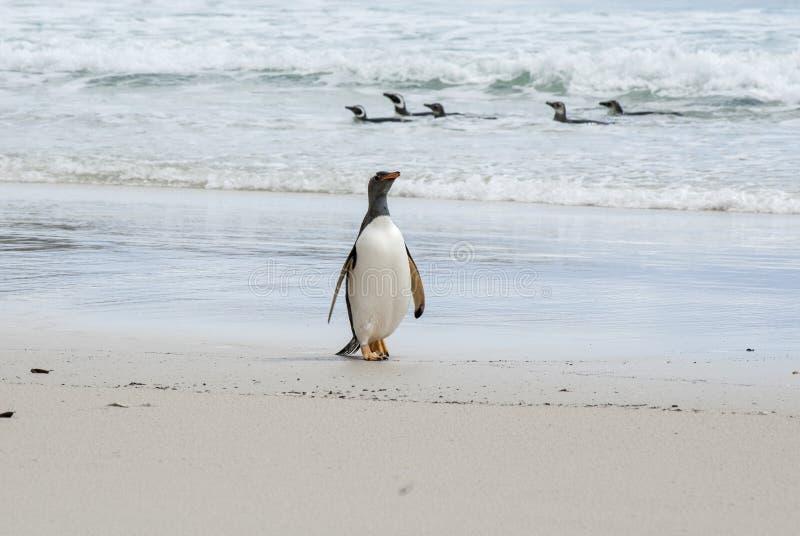 Download Trots Om Gentoo-Pinguïn Te Zijn Stock Foto - Afbeelding bestaande uit milieu, rekening: 39115856