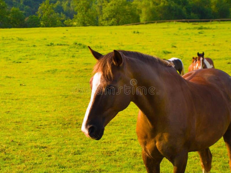 Trots Sterk Paard op Mooi Groen Gebied stock foto's
