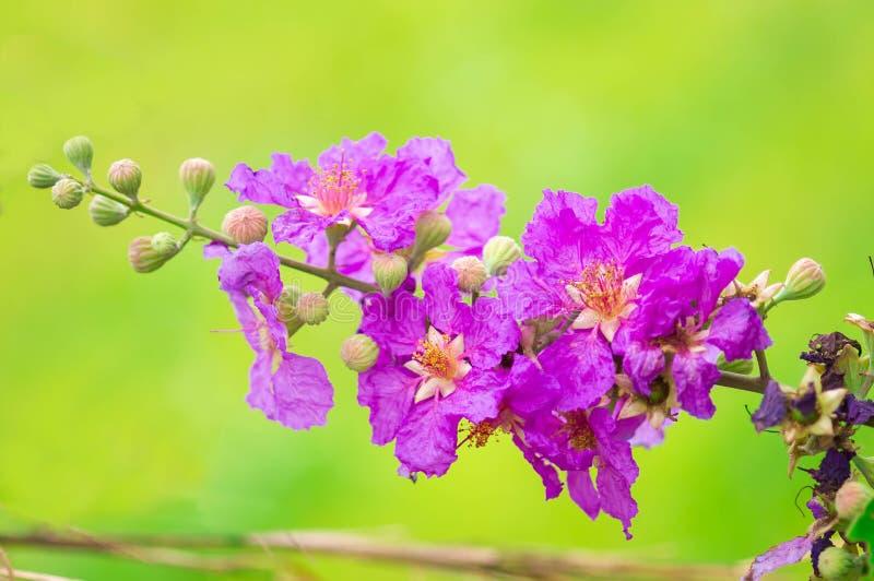 Trots van India, de bloem van de Koningin royalty-vrije stock afbeelding