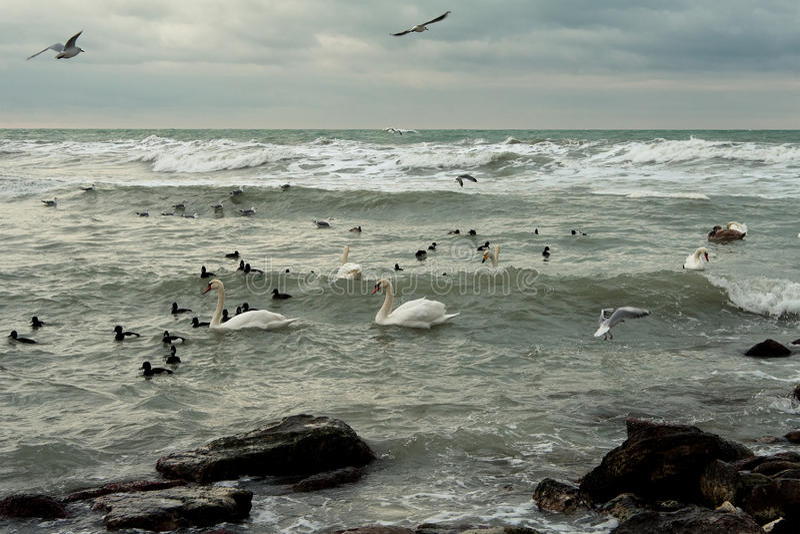 trotsa icy havswansvinter royaltyfria foton