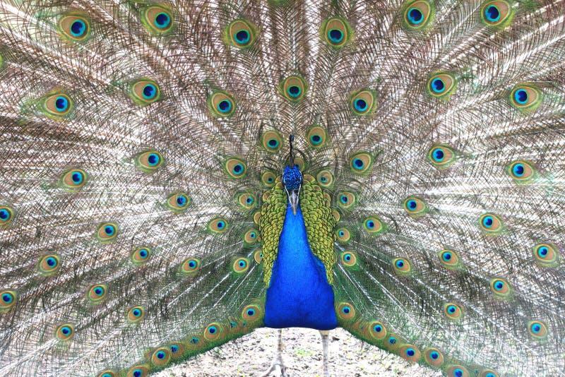 Trotse blauwe pauw die mooie veren/pauw tonen die zijn staart uitspreiden royalty-vrije stock foto