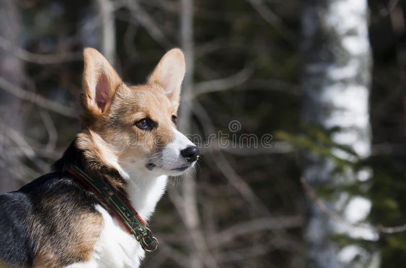 Trotse Hond stock foto