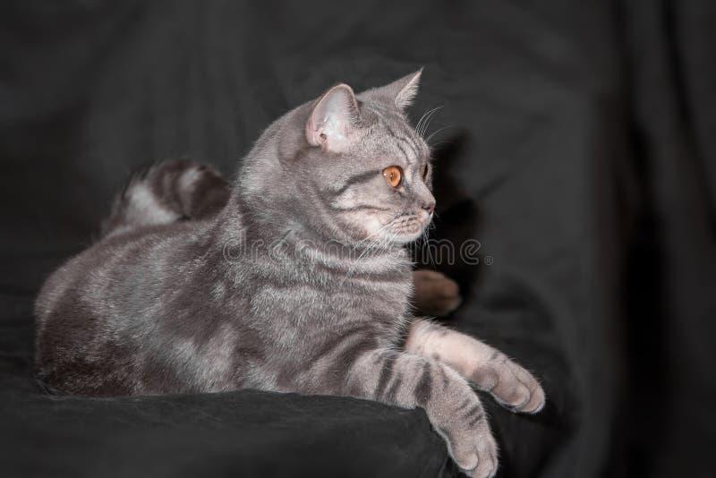 Trotse huis grijze kat die op zwarte stof liggen royalty-vrije stock afbeelding