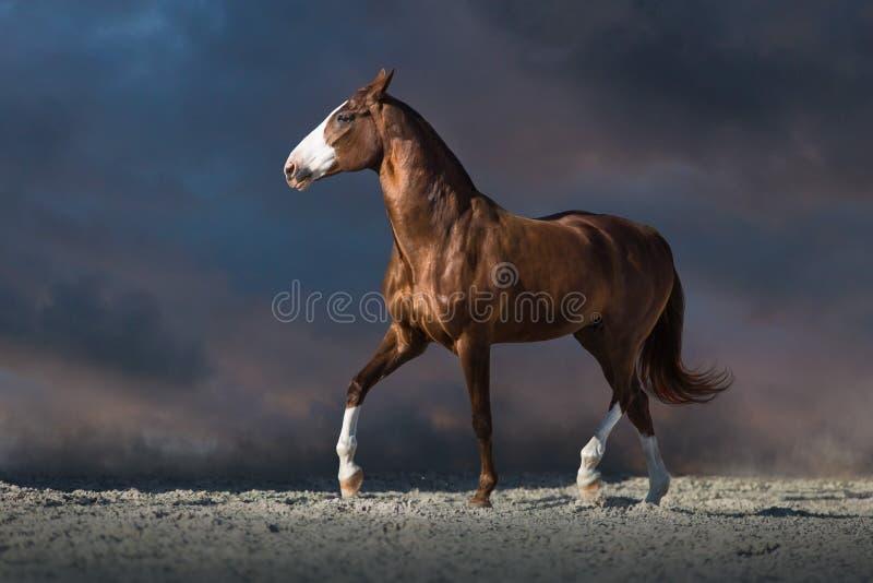 Trottare rosso del cavallo immagine stock libera da diritti