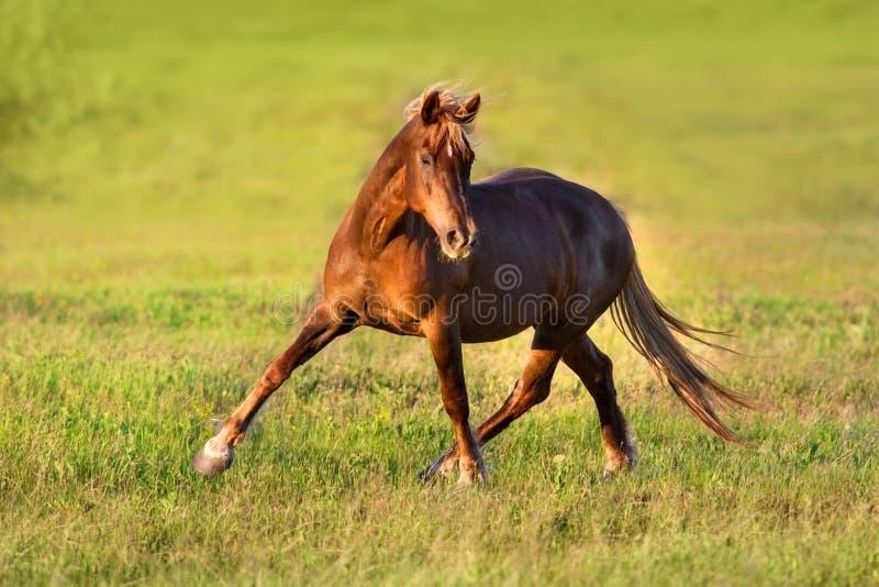 Trottare rosso del cavallo fotografia stock libera da diritti