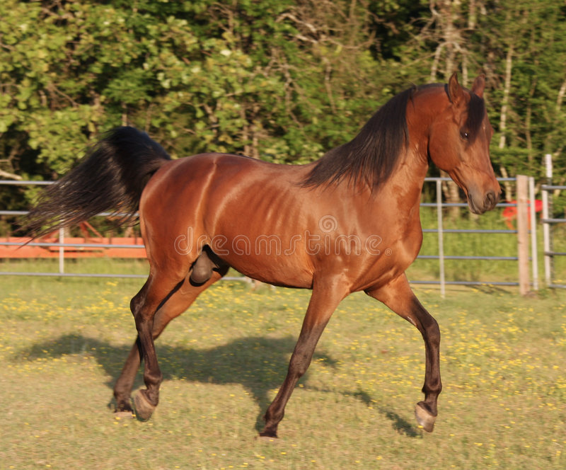 Trotting Arabian Stallion stock images