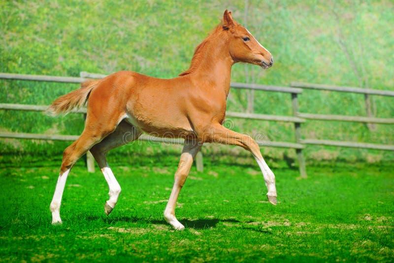 Trotting chestnut foal in summer field royalty free stock photo