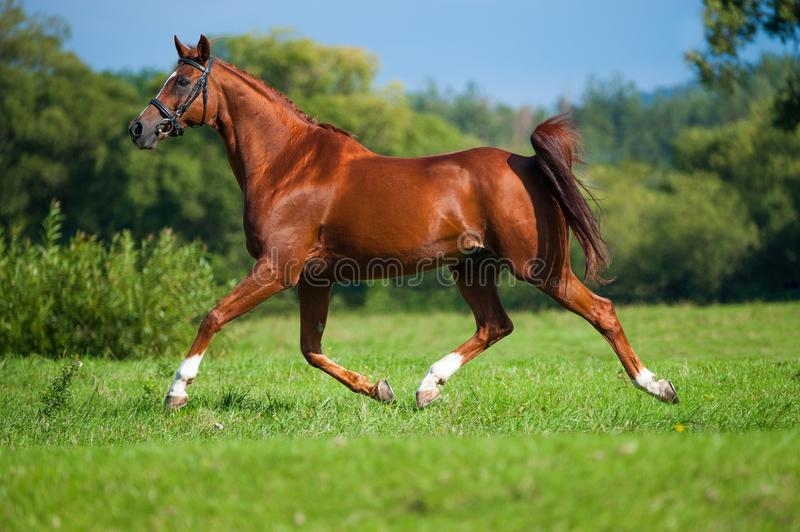 Trotting horse on a pasture stock images