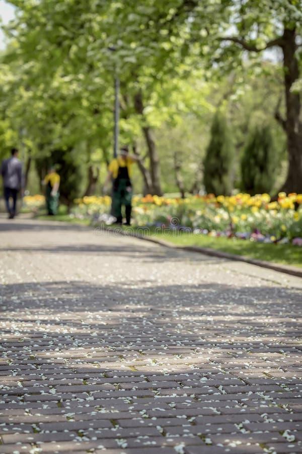 Trottoar under försiktiga stupade kronblad av körsbärsröda blomningar, sakura träd Selektivt fokusera Rengöringsmedel sopar parke royaltyfri bild