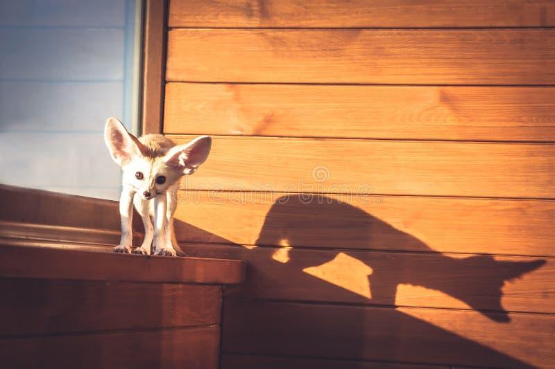 Trotzen Sie nettem Haustierwelpen, den Fuchs mit großem Schatten auf hölzerner Wand während des Sonnenuntergangs anstarrte stockfotografie