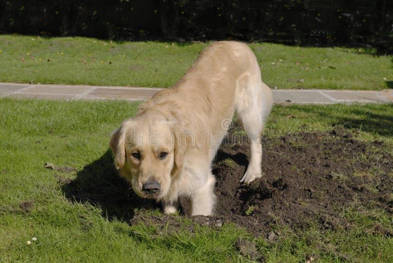Trou de creusement de crabot de chien d'arrêt d'or photos libres de droits