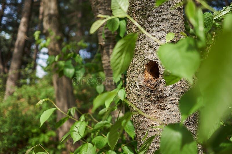 Trou de pivert dans un arbre photo stock