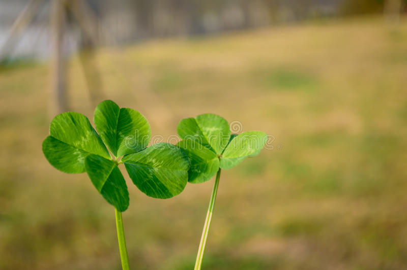 Trouble four Leaf Clover royalty free stock photography