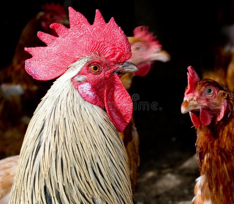 Trouble in the henhouse - cocky cockerel and brown. Looks like a politician with a bunch of toadying assistants royalty free stock photo