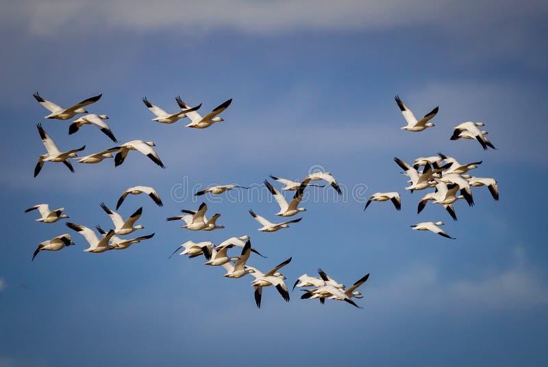 Troupeau énorme des oies de neige de migration dans le ciel bleu photos libres de droits