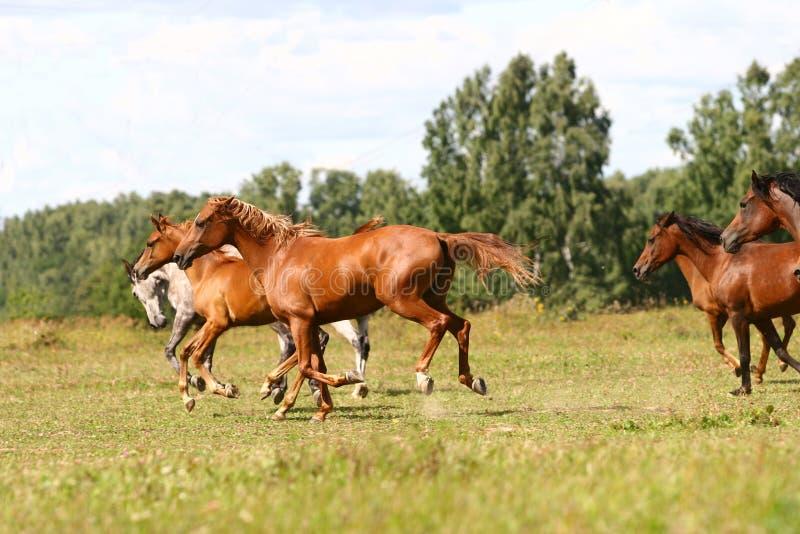 Troupeau Arabe de chevaux photos libres de droits