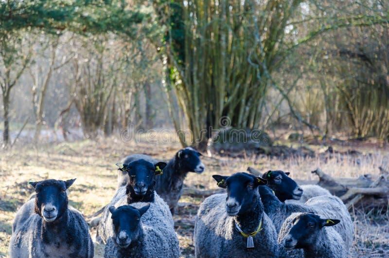Troupeau avec les moutons noirs curieux image libre de droits